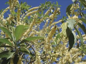 As floradas da Marianeira Acnistus arborescens ocorrem varias vezes ao ano