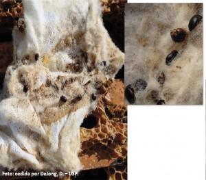 Figura 13. Pano utilizado sobre os quadros onde os besouros permanecem presos e as abelhas conseguem se libertar, desfiando o tecido. Apenas para verificar a presença do besouro A. tumida na colmeia. Foto: Dejong, D. - USP.