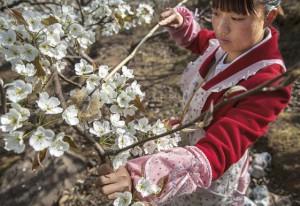 Hanyuan, China – A agricultora He Meixia, 26, poliniza uma árvore de peras. (Foto de Kevin Frayer/Getty Images).