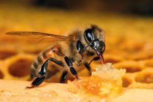 Apiterapia para apicultores