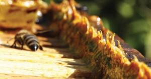 As 78 amostras de própolis utilizadas na pesquisa foram coletadas em apiários no sul do Paraná e norte de Santa Catarina – Foto: Wikimedia Commons