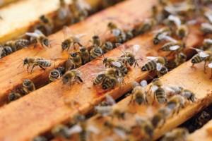 Figura-1-apicultura-pratica