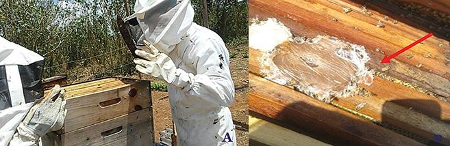 Figura 1- Revisão de colmeias (A) e alimentação artificial pastosa (B).