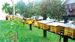 Figura 4. Colmeias de abelha mandaçaia sendo suplementadas com alimento liquido por meio do alimentador modelo Roso.