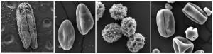 Figura1- Imagem em microscopia eletrônica de varredura da antera e diferentes grãos de pólen de diferentes espécies.