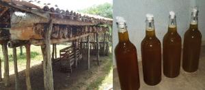 Figura 1 – Meliponário rústico com colônias em cortiços na horizontal (troncos de madeira) e mel da abelha jandaíra (Melipona subnitida) envasado da forma tradicional em recipientes reutilizados.