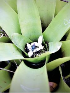 abelha das orquídeas Euglossa annectans coletando em flores da bromélia Aechmea lindenii. - foto de Marilda Cortopassi-Laurino.