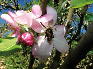 Melipona quadrifasciata em flor de maçã - foto de Cleiton José Geuster.