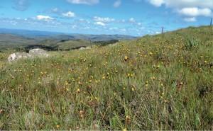 Foto 2 – Flores de configuração aberta, como esta Luxemburgia, são típicas para polinização por abelhas - Maria Gabriela Camargo.