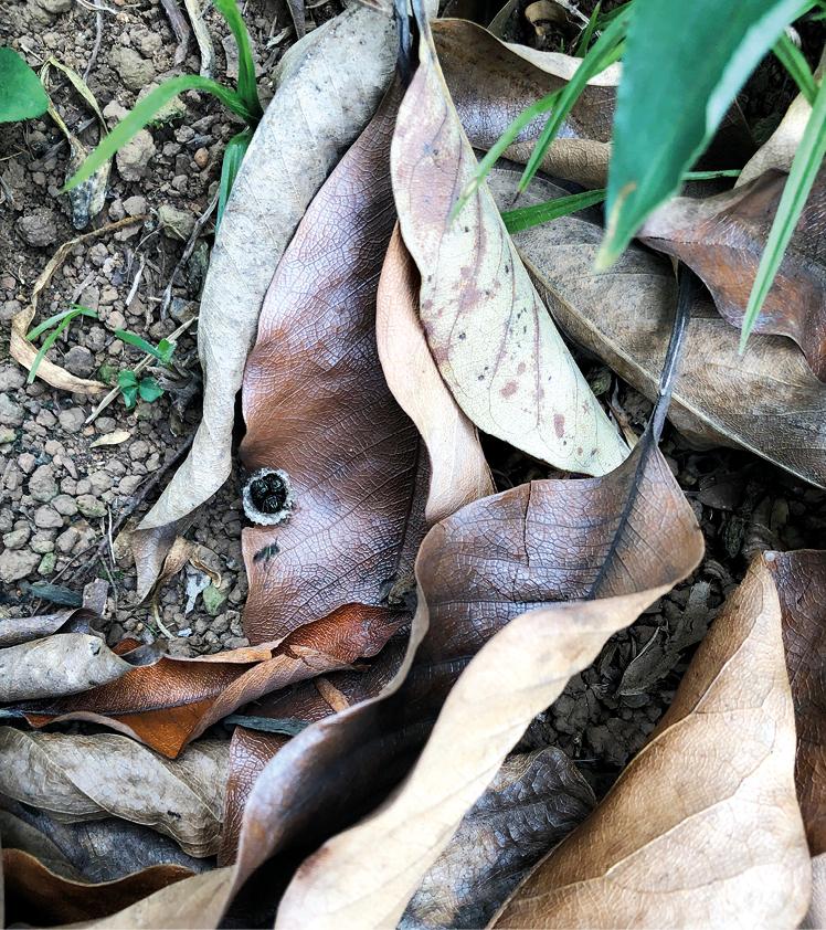Fig. 1 linda entrada de ninho natural de jataí da terra (Paratrigona subnuda) em um barranco no bairro do Sumaré-SP. A folha que caiu sobre a entrada foi recortada pelas abelhas para agilizar os voos.