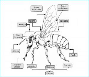 Figura 1 - Divisão do corpo da abelha. Fonte: Rezerra e Lopes, (1956).
