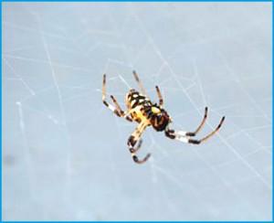 Figura 2. Aranha Nephilingis cruentata  Foto: Revista Pesquisa Fapesp