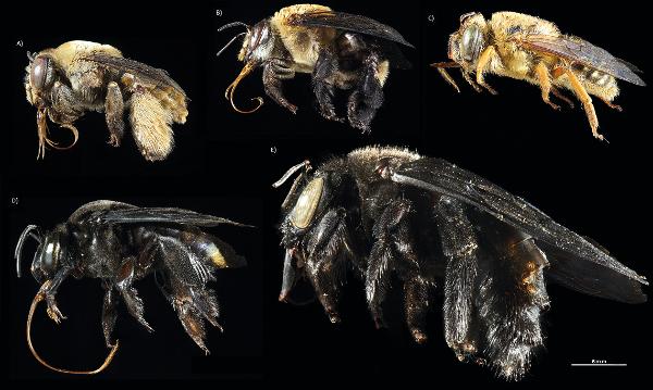 Figura 1. Exemplos de espécies de abelhas solitárias importantes para polinização de culturas agrícolas brasileiras. A) Centris aenea; B) C. similis; C) Oxaea flavescens; D) Eulaema nigrita; E) Xylocopa frontalis (fotos: Fernanda Trancoso).