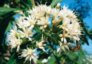 Abelha pousa na flor de assa-peixe, planta nativa da região, que concede características únicas ao mel produzido. Foto: Divulgação