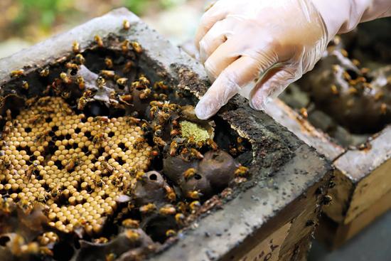 Melipona seminigra espécie de abelha sem ferrão nativa do Amazonas.
