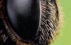 Olhos compostos constituído por mais de 6.000 omatídios. Em biologia, omatídeos são unidades formadoras dos olhos compostos de um artrópode.