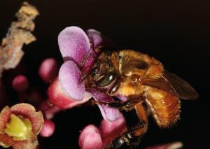 Foto 4 - Algumas plantas dependem de duas ou até três espécies de abelhas agindo simultaneamente, mostrando que a biodiversidade é potencializador da cultura — Foto: Cristiano Menezes/Acervo Pessoal.