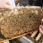 Quadro de abelhas hibridas (italianizadas) coletado de uma colmeia do apiário visitado cerca de Paju.