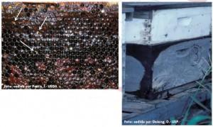 Figura 2. Mel fermentado no favo, bem como mel fermentado escorrendo pela lateral da colmeia, ocasionados pela presença de A. tumida. Setas brancas indicam larvas de A. tumida no interior dos alvéolos. Fotos cedidas: Pettis, J. -USDA e Delong, D. - USP.