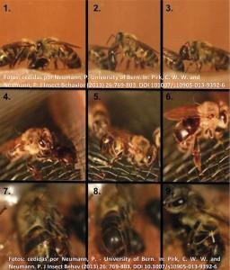 Figura 3. Sequência do comportamento predatório do besouro A. tumida adulto em relação a abelhas A. mellifera. 1-3: estabelecendo contato. 4: induzindo trofalaxia (comportamento comum em insetos sociais que envolve troca nutricional e forma de comunicação). 5-6: besouro subindo no abdômen da abelha operária e utilizando a mandíbula entre os tergitos. 7: Abrindo o abdômen entre o terceiro e quarto tergitos. 8-9: besouro parcialmente dentro do abdômen pelo acesso entre tergitos.  Fotos: cedidas por Neumann, P. University of Bern. In: Pirk, C. W. W. and Neumann, P. J Insect Behavior (2013) 26:769 803. DOI 101007/s10905 013 9392-6 .