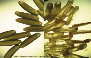 Figura 4. Ovos de A. tumida. À esquerda ovos íntegros, à direita ovos ressecados em virtude da umidade abaixo de 50%. Foto: cedida por Pettis, J. - USDA.