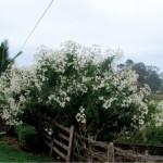 Belíssima inflorescência do margaridão branco.