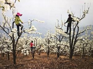 Foto 15 – Homens-abelha sobre árvores frutíferas realizando o trabalho de polinização na China devido a falta de abelhas.