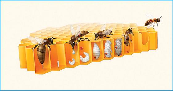Figura 2: A figura mostra a abelha rainha colocando no casulo uma nova abelha, quando ela volta para alimenta, já traz a varroa. Podendo matar ou infectar mais outros opérculos. Fonte:http://mites-and-parasites.org/wp-content/uploads/2015/07/Varroa-destructor.jpg.