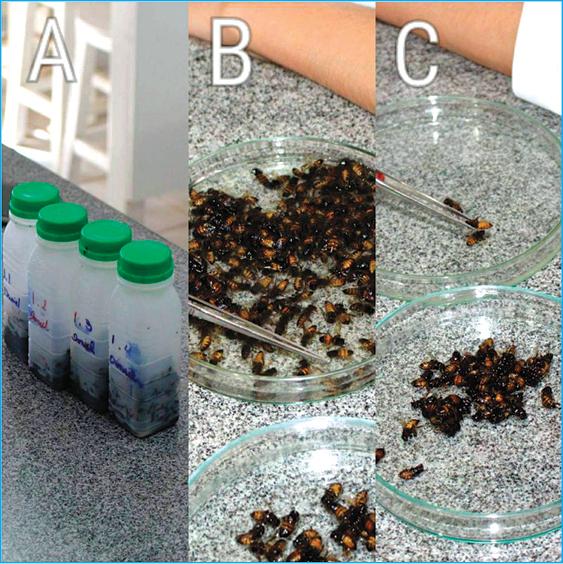 Figura 3: A da figura estão as abelhas nos frascos depois de agitados na espera. B da figura foram colocadas as abelhas para a separação dos ácaros. C da figura são as contagens das abelhas. Fonte: Marques e Carvalho, 2017.