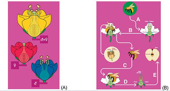 Figura 1 – (A) Apresentação de uma flor perfeita (presença de órgão masculino e feminino) e flores imperfeitas, só apresentam um dos dois sexos (feminino ou masculino). (B) Demonstração de um processo de polinização, onde a abelha visita a flor, coleta pólen da antera em seu corpo e leva esse pólen até o estigma, favorecendo o contato entre a parte masculina e feminina da planta e promovendo a fecundação e geração de sementes e frutos. Extraído de Witter et al. 2014.