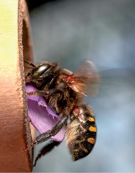 Megachile sp (fêmea) transportando pétala de flor recortada