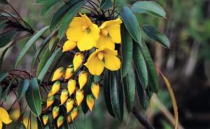 Foto 3 – O fundo dos tubos alongados de Augusta longifolia, de cor invisível para abelhas, só pode ser atingido por beija-flores - Maria Gabriela Camargo.