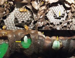Figura 4: Colônia de Uruçu-amarela (Melipona flavolineata) alimentada com dieta artificial à base de extrato de soja, colorida com anilina verde para rastreamento. a) Interior do ninho de Uruçu-Amarela, apresentando a área de cria no centro, com potes de alimento e cerume ao redor. Na imagem, aparecem duas operárias e a rainha. b) Célula de cria aprovisionada. c) Ovo recém- ovipositado sobre alimento larval. d) Uma larva que ingeriu alimento larval. O rastreamento por meio de corante sugere que o alimento larval foi produzido à partir da dieta artificial à base de extrato de soja, e que este foi ingerido normalmente pelos membros da colônia.