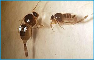 Figura 3. Forídeos da espécie Pseudohypocera kerteszi. Foto: Tarcísio George (2018).