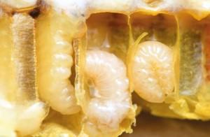 Os micróbios são uma fonte muito importante de nutrientes para as larvas das abelhas»