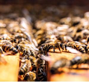 A doença parece ser mais comum entre as abelhas criadas por apicultores profissionais.