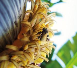 Uma abelha nativa sem ferrão, a irapuã (Trigona spinipes): as mais de 300 espécies brasileiras começam a ter sua importância reconhecida. Foto: João Paulo Corrêa de Carvalho / CCBY.