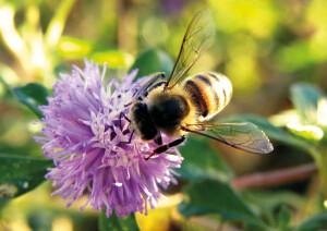 A abelha africanizada (Apis Mellifera) é altamente disseminada no Brasil. Generalista, ela tem grande capacidade na produção de mel. Foto: Thiago Gama Oliveira / CC BY-NC-SA.