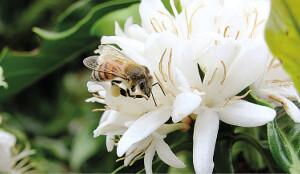 A flor de um cafeeiro sendo polinizada por uma abelha - Foto: Istock/Mapa