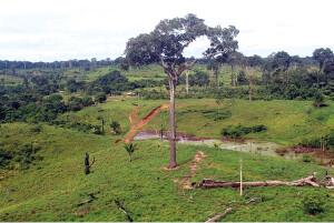 Castanheira isolada em área de pastagem no município de Oriximiná: ainda assim, a visitação das abelhas foi comprovada. Foto: Maico Pimentel.