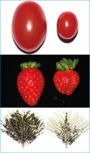 Foto 2 - À esquerda, tomate, morango e açaí bem polinizados e, à direita, os mesmos frutos sem a polinização por abelhas — Foto: Cristiano Menezes/Acervo Pessoal