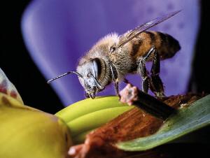Foto 3 - Apis Mellifera, abelha africanizada introduzida no Brasil, é polinizadora essencial de melões, cajás e abóboras — Foto: Thais Diniz/Acervo Pessoal.