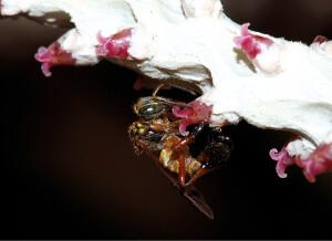 Foto 6 - No açaí, as abelhas possuem o potencial de incentivarem a produção de frutos nos cachos - Foto: Cristiano Menezes/Acervo Pessoal.