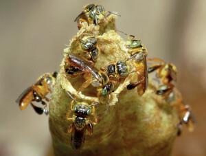 Também conhecida como abelha indígena, o mel da Jataí tem propriedades medicinais. Foto: IMPA