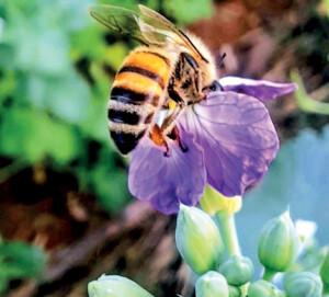 Abelha recolhendo o pólen da pequena flor da cultura - Foto: M.Vicente.