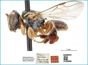 Figura 1. Operária de Plebeia flavocincta depositada no Instituto Smithsoniano (EUA) em vista lateral. Fotografia por Karolyn Darrow e cedida pelo curador Dr. Sean Brady.