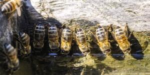 as abelhas necessitam de água principalmente para suprir as necessidades fisiológicas como em todos os seres vivos, mas também é utilizada para manter a umidade e temperatura no interior da colônia.