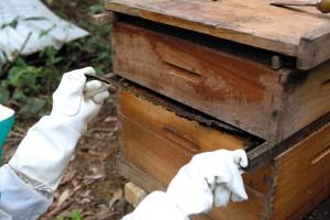 Figura 4. Coletando própolis no apiário.