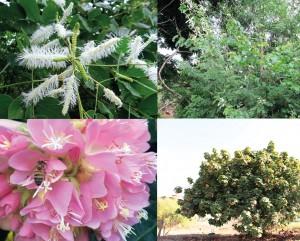 Figura 3: Plantas utilizadas como quebra vento nos apiários. a-b) Sanção do campo (Mimosa caesalpiniaefolia). c-d) Astrapeia – (Dombeya wallichii).